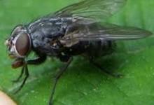 Двокрилі – ряд комах (Diptera)