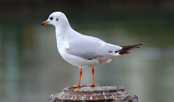 Озерна чайка (мартин)