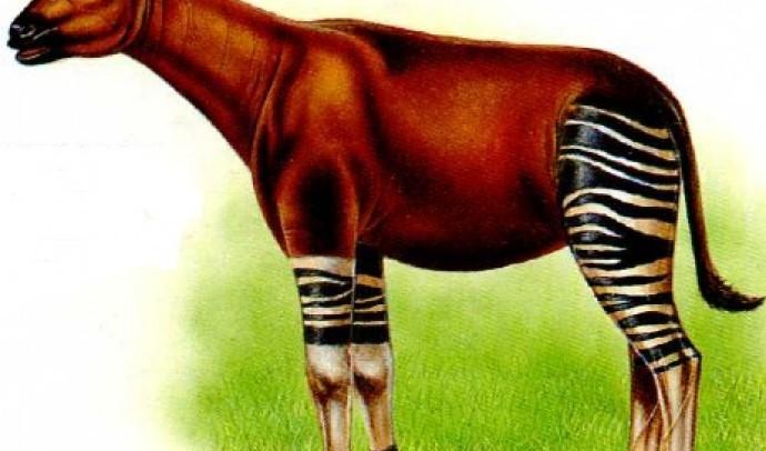 Окапі – лісовий жираф