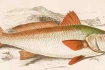 Горбаневі – родина риб (Sciaenidae)