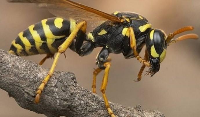 Жалкі перетинчастокрилі – інфраряд комах (Aculeata)