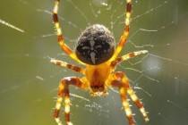 Павук-хрестовик
