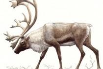 Північний олень (карібу)