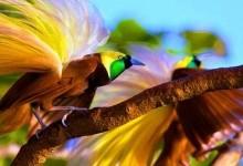 Райський птах