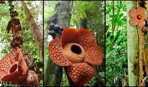Чудо-квітка рафлезія