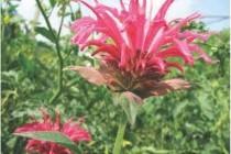Рододендрон гімалайський (рута гімалайська)