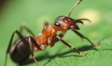 Руда лісова мураха