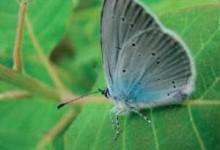 Синявець мелеагр