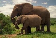 Цікаве про слонів