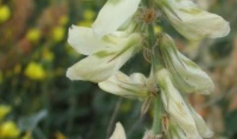 Солодушка великоквіткова