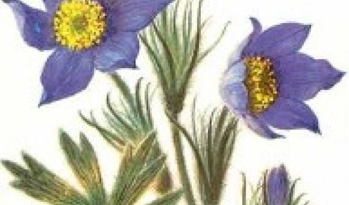 Сон широколистий (сон-трава)
