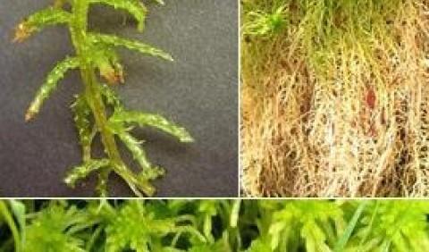 Сфагнум (білий мох)