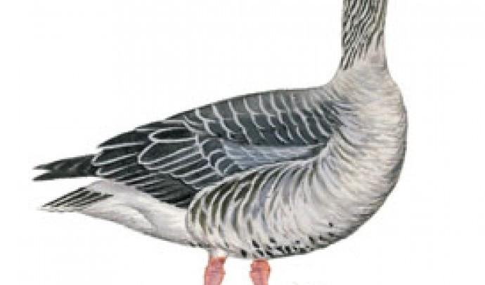 Сіра гуска