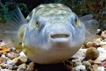 Голкочереві, або скелезубові, або риби-собаки, або чотиризубі – родина риб (Tetraodontidae)