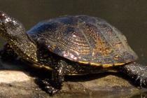 Черепаха болотна