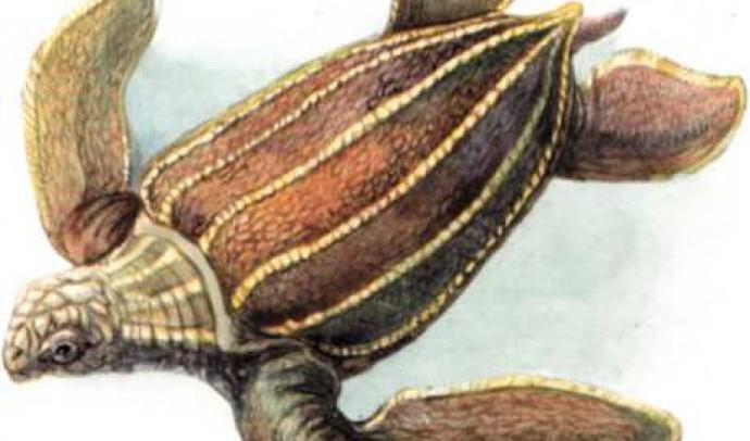 Шкіряста черепаха