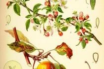 Яблуня лісова