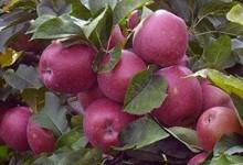 Яблуня у світогляді українців