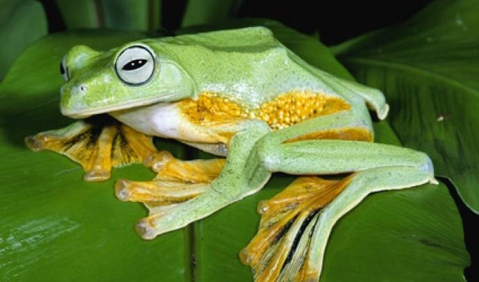 Яванська літаюча жаба