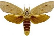 Деревоточці – родина комах (Cossidae)