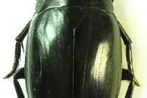 Водолюби – родина комах (Hydrophilidae)