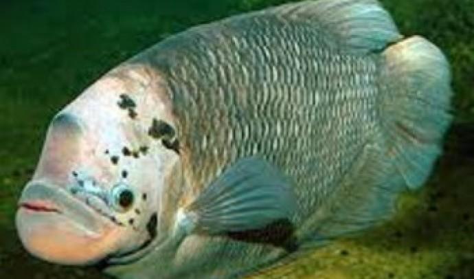 Гурамі справжній, або велетенський, або промисловий (Osphronemus goramy)