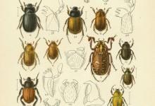 Жуки пластинчатовусі – родина комах (Scarabaeidae)
