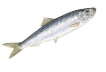 Оселедцеві – родина риб (Clupeidae)