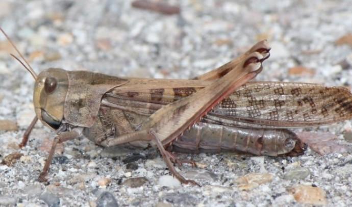 Саранові – надродина комах (Acridoidea)