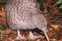 Ківі звичайний, або південний (Apteryx australis)