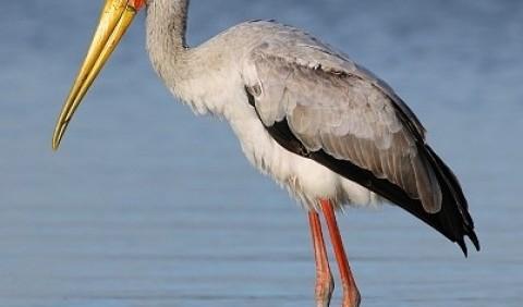 Клювач африканський (Mycteria ibis)