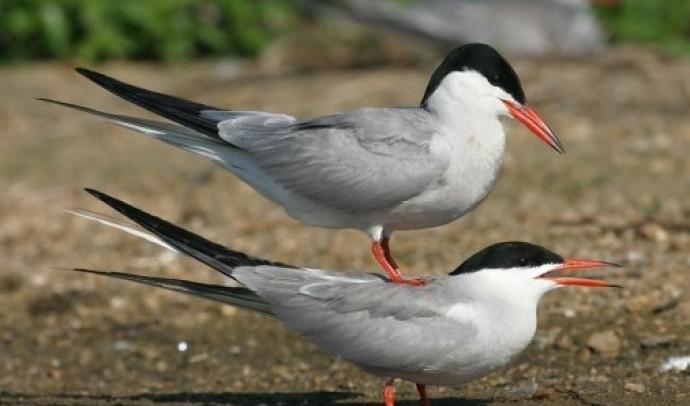 Крячки – родина птахів (Sternidae)