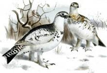 Куріпка біла (Lagopus albus)