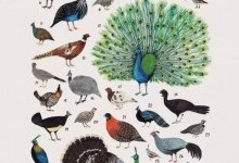 Куроподібні – ряд птахів (Galliformes)