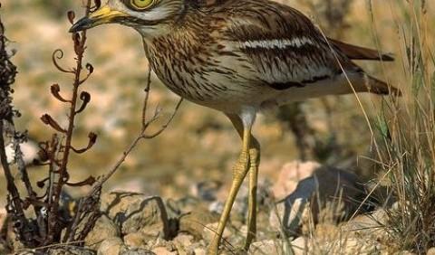 Лежень (Burhinus oedicnemus)