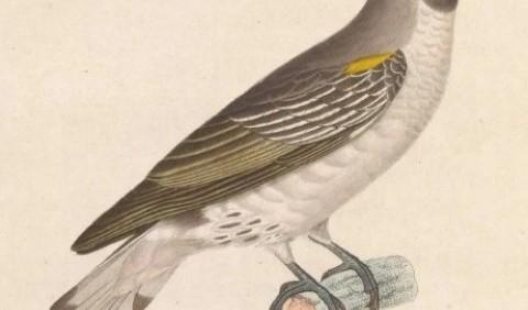 Медоводи, або медовказівники, або воскоїди – родина птахів (Indicatoridae)