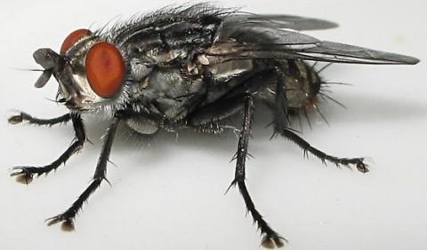 Мухи сірі м'ясні, або саркофагіди – родина комах (Sarcophagidae)