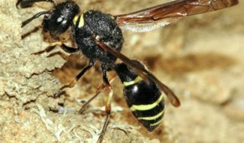 Одінери – рід комах (Odynerus)