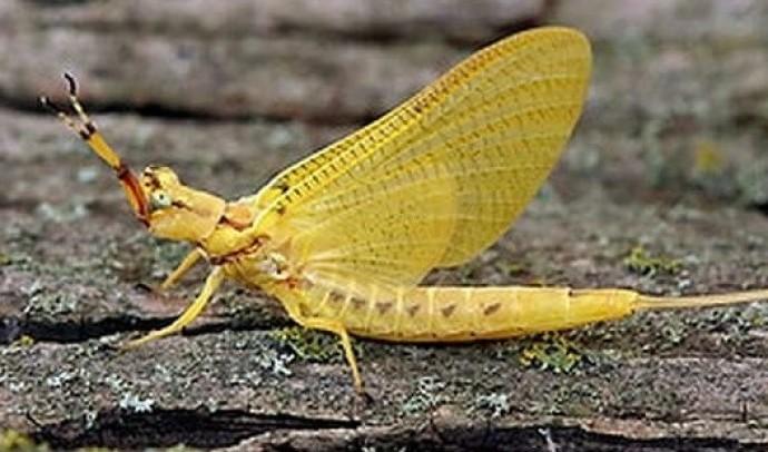 Одноденки – ряд комах (Ephemeroptera)