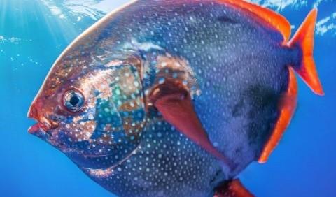 Опах звичайний, або сонячна риба (Lampris guttatus)