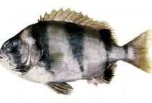 Оплегнатові, або ножезубові – родина риб (Oplegnathidae)