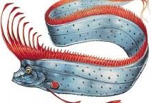 Оселедцевий король чубатий (Regalecus glesne)