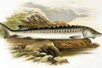 Осетер європейський, або осетер атлантичний (Acipenser sturio)