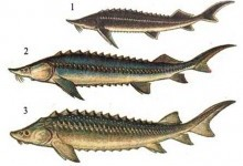 Осетрові – родина риб (Acipenseridae)