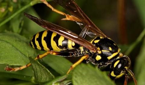 Оси справжні, або складчастокрилі – родина комах (Vespidae)