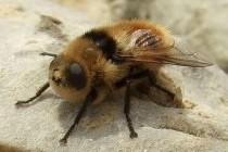 Оводи носоглоткові – підродина комах (Oestrinae)