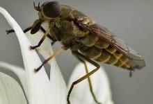 Оводи підшкірні – родина комах (Hypodermatidae)
