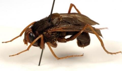 Оводи шлункові, або ґедзі шлункові – родина комах (Gasterophilidae)