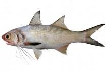 Пальцепері – родина риб (Polynemidae)