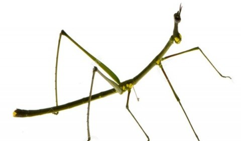 Паличники, або примарові, або листотіли – ряд комах (Phasmatodea)